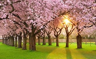 פסטיבל פריחת הדובדבן בניו יורק - Cherry Blossom Festival